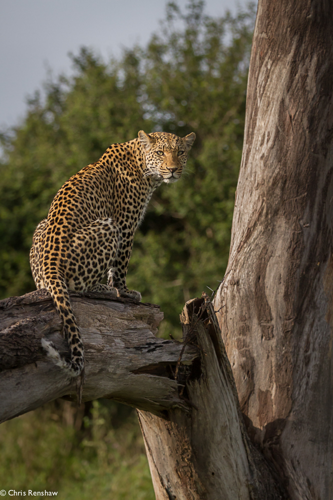 Leopard Sitting In A Tree Africa