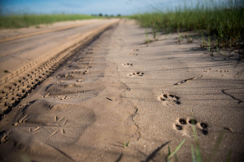 The unmistakable tracks of an elusive Leopard.