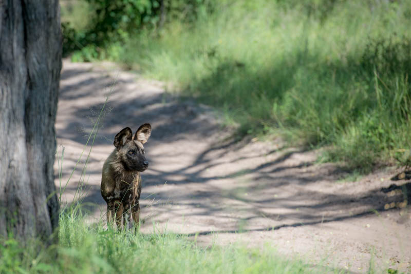 One of the most incredible Africa predators, the Africa Wild Dog.