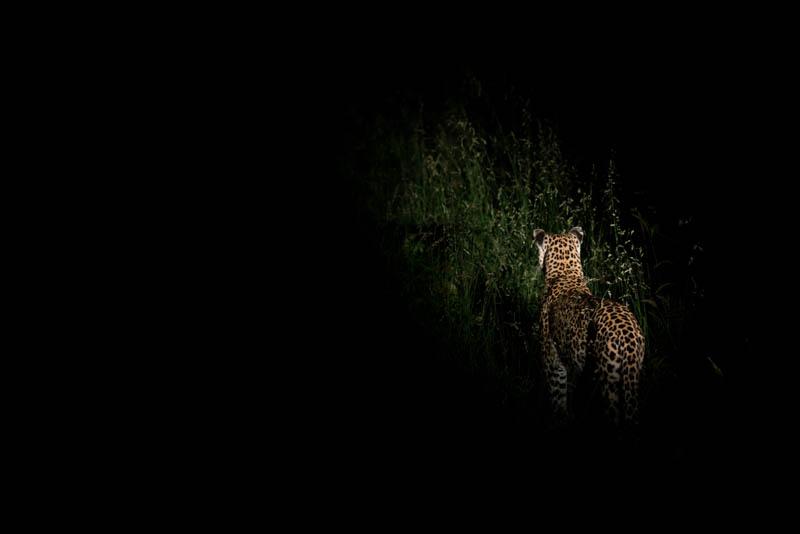 A last Leopardess .