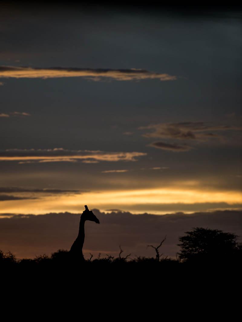 A lone Giraffe silhouetted in the setting sun.