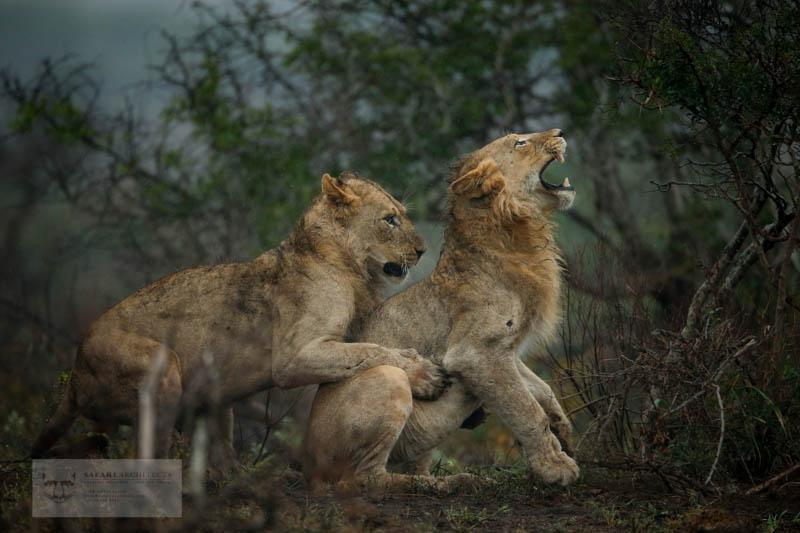 Male lions wrestle