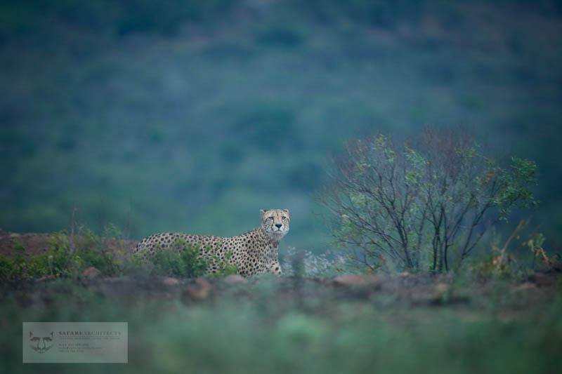 Cheetah Brother