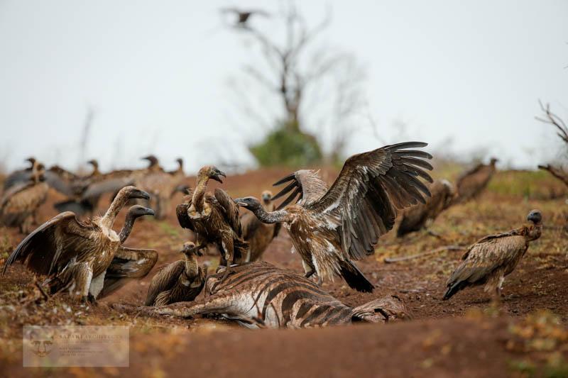 A vulture feast