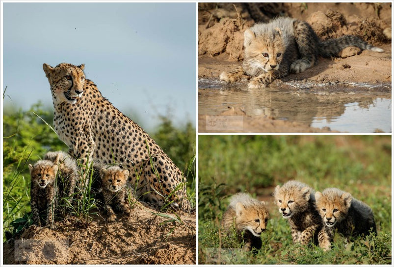 Cheetah family collage