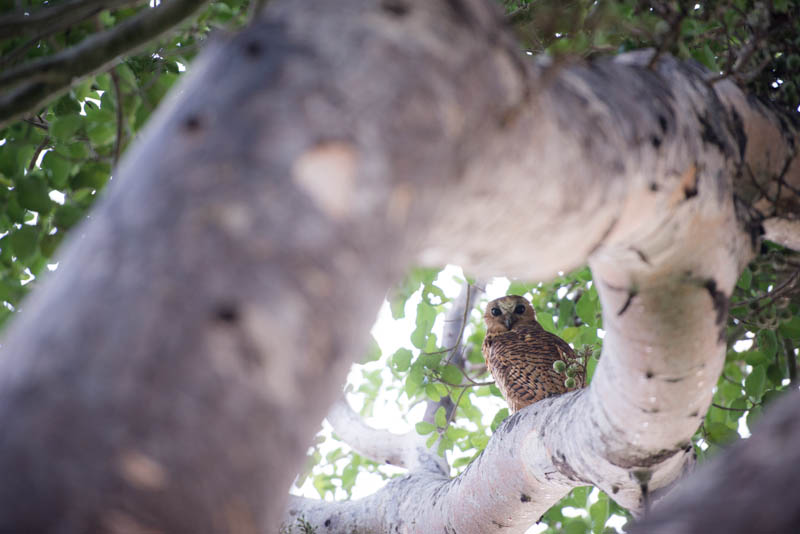 A most memorable sighting of a Pel's fishing owl at Pelo camp.