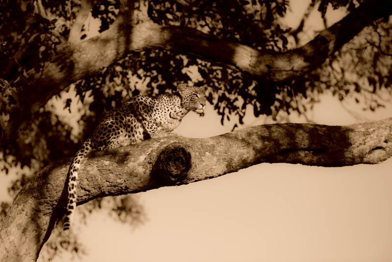 The female Leopard poses perfectly on the macula tree branch.