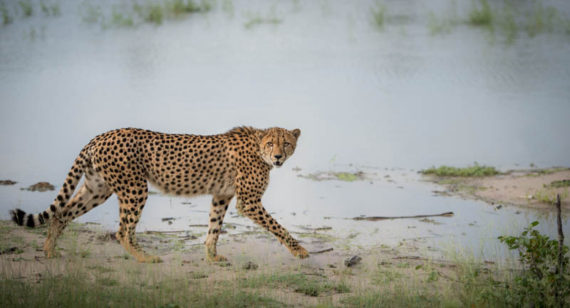 A cheetah moves away from a waterhole after drinking.