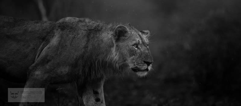 Male Lion stalk